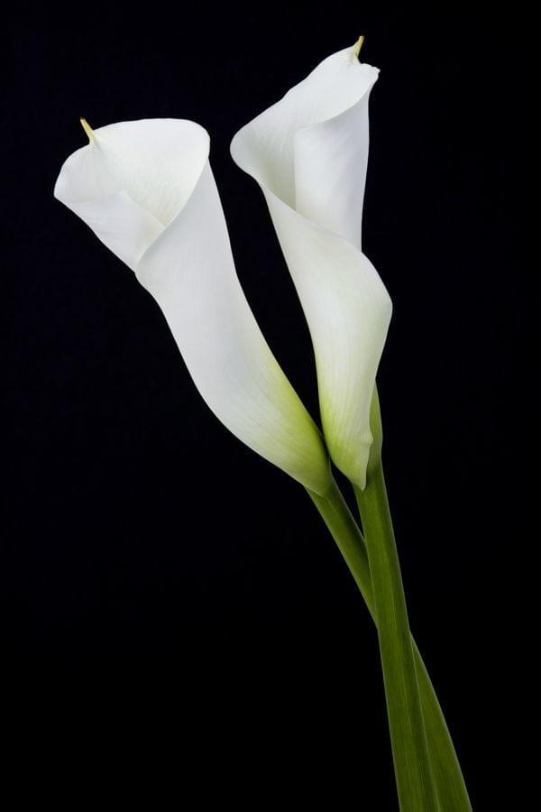 funeral calla lilies