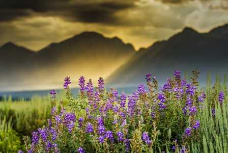 Mountain Lupine